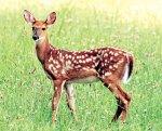 chitra-deer